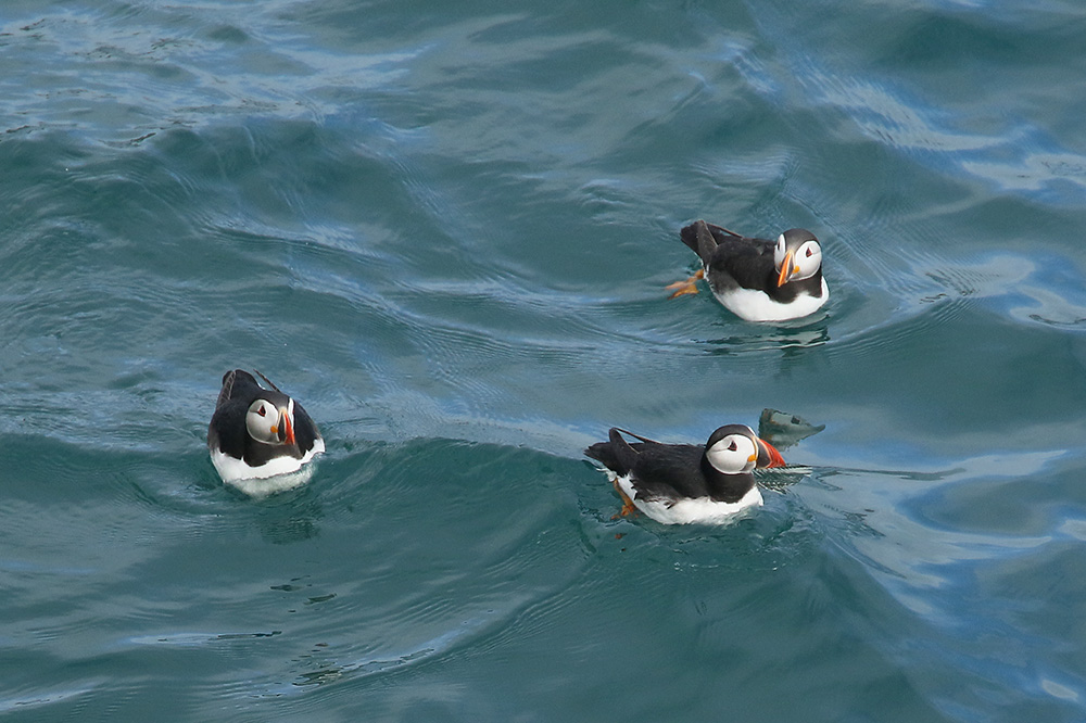 Atlantic puffins 15-6-2017. Photo by Mick Dryden