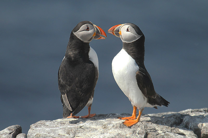 Puffin. Not in Jersey. Photo by Mick Dryden