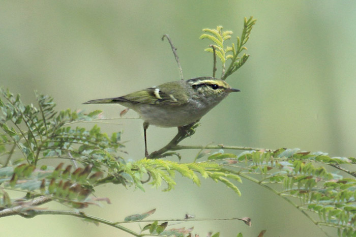 Pallas's warbler. Photo by Mick Dryden