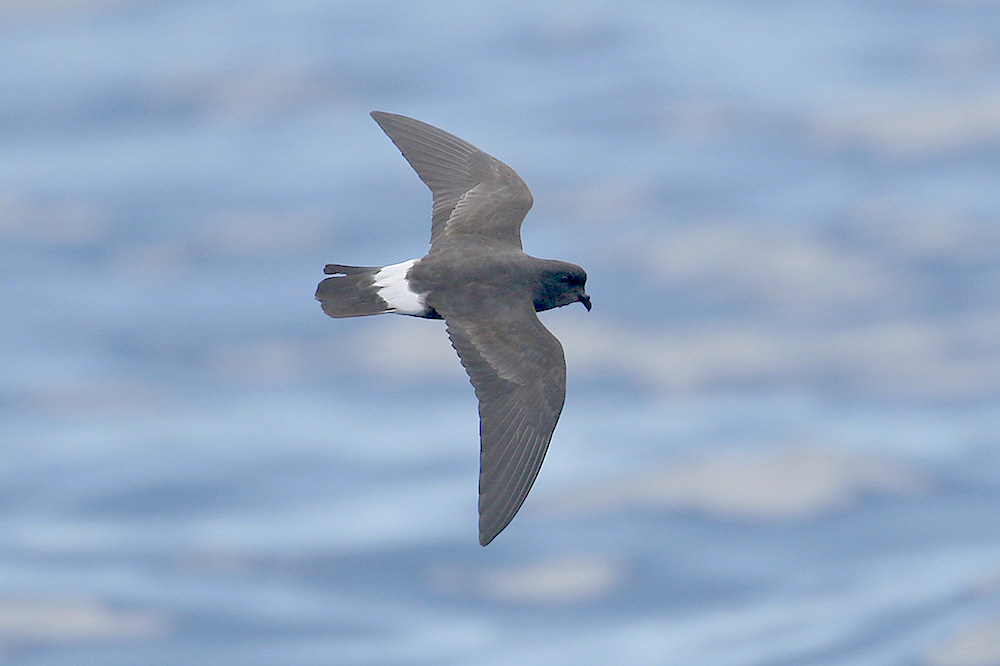 Storm petrel (3). Photo by Mick Dryden