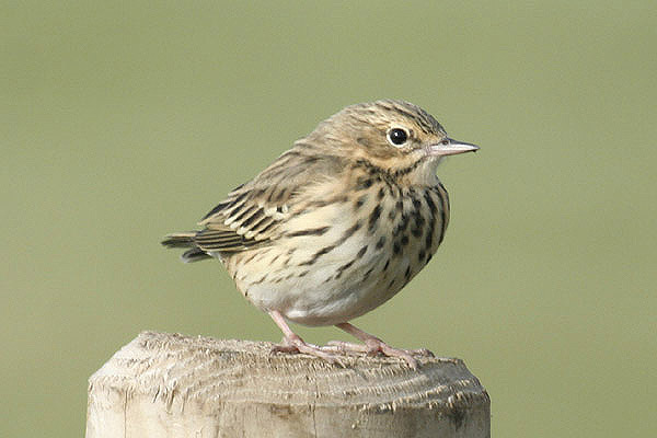 Tree pipit. Photo by Mick Dryden