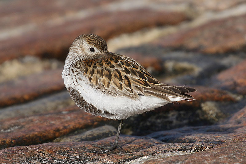 Dunlin (2). Photo by Mick Dryden