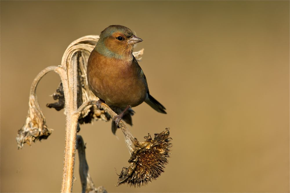 Chaffinch. Photo by Romano da Costa