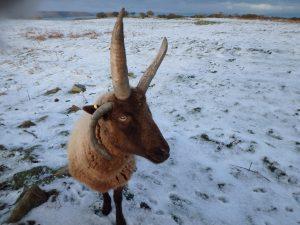 Manx loaghtan sheep at Sorel. Photo by Harriet Clark