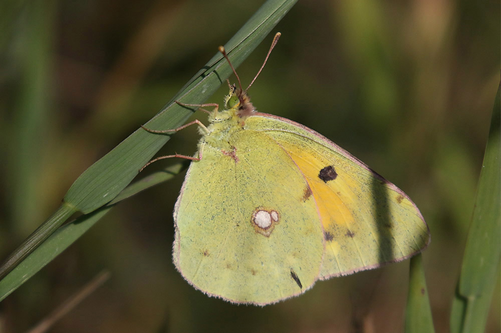 Clouded yellow. Photo by Mick Dryden