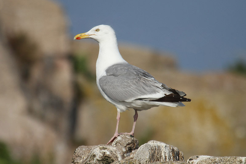 Herring gull. Photo by Mick Dryden