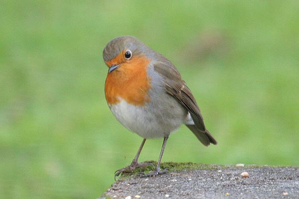 Robin (2). Photo by Mick Dryden