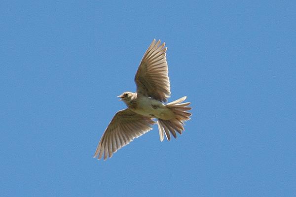 Skylark (3). Photo by Mick Dryden