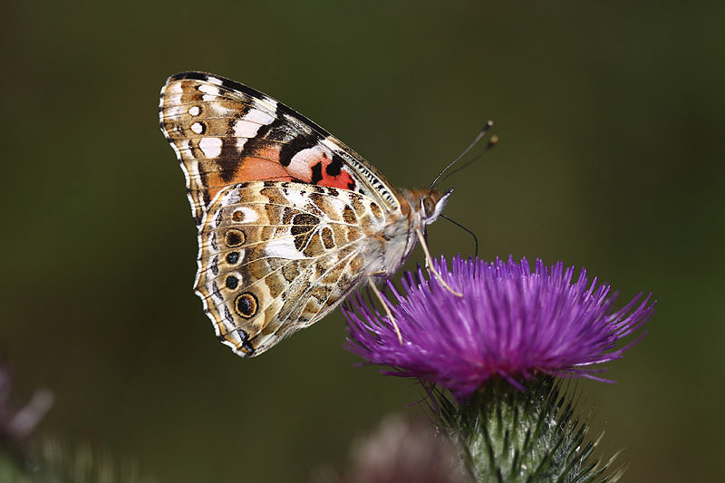 Painted lady (2). Photo by Mick Dryden