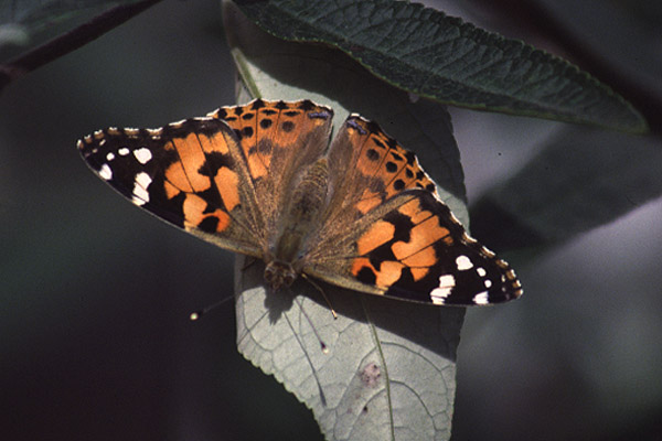 Painted lady (3). Photo by Mick Dryden